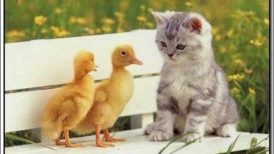 Photo of قصة القطة الصغيرة والبطتين قصص جميلة وهادفة بقلم منى حارس